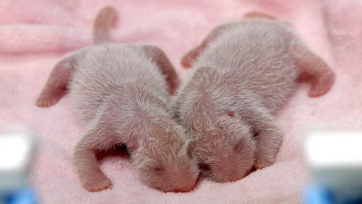Fenomen extrem de rar. În China s-au născut primii urși Panda gemeni din acest an (VIDEO)