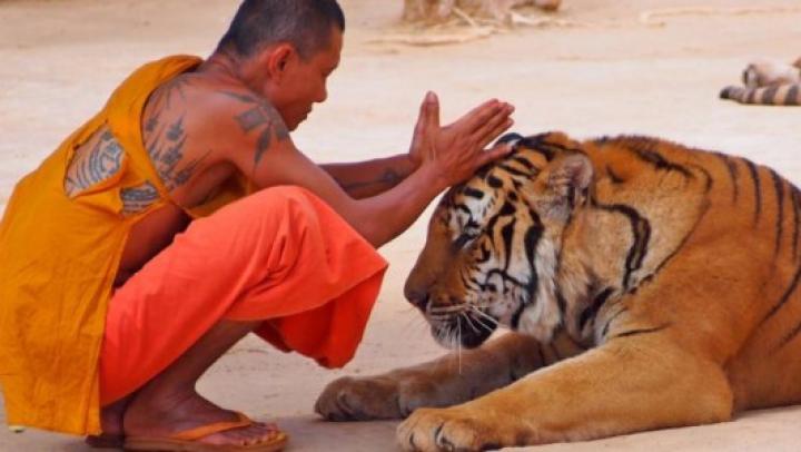 Descoperire șocantă în templu tigrilor din Thailanda. Ce era ascuns în congelatorul budiștilor