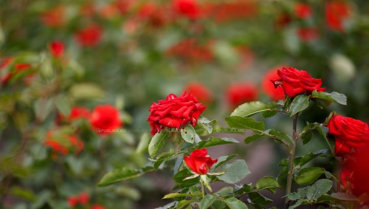 Câteva secrete pentru a şti cum să îți îngrijești corect trandafirii din grădina ta