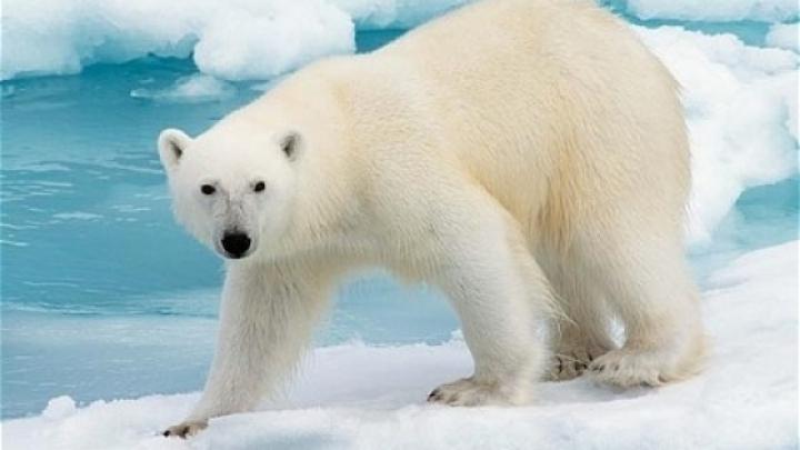 GEST INUMAN! Doi bărbaţi au ucis un urs polar pentru 50 de litri de benzină (FOTO)