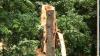PERICOL pentru locuitorii Capitalei! Se prăbuşesc arbori în plină zi (VIDEO)