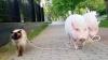 Prieteni de NEDESPĂRŢIT! Un motan se lasă plimbat în lesă de un porc (VIDEO)