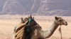 Inedit! Sute de cămile s-au aliniat în cadrul unui concurs vechi din Iordania