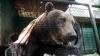 """Baloo din România. Ursul care este """"cetăţean de onoare"""" din Straja (VIDEO)"""