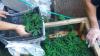 CAPTURĂ de DROGURI de UN MILION de LEI la Basarabeasca! Cum erau cultivate plantele ilegale (VIDEO)