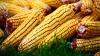 VEŞTI BUNE pentru agricultori! CUM va fi producţia de porumb din acest an