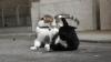 Reglări de conturi între cele mai importante feline din Marea Britanie. Motanul premierului a fost rănit
