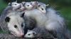 Premieră mondială: În Noua Zeelandă vor fi exterminate toate speciile de prădători de import