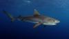 INCREDIBIL! Ce a arătat ecografia unei femele de rechin tigru (VIDEO)
