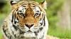 Imagini ce vă pot afecta emoțional! Două femei au fost atacate de tigri într-un safari (VIDEO)