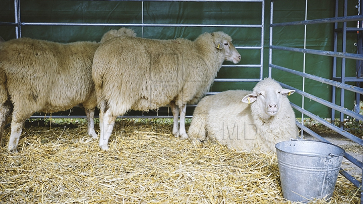 INCREDIBIL! Un cioban din Rusia îşi păzeşte oile cu ajutorul unei leoaice (VIDEO)
