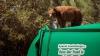 Întâmplare AMUZANTĂ! Un urs s-a plimbat pe o maşină de gunoi (VIDEO/FOTO)