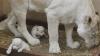 Sărbătoare mare la o grădină zoologică din Tbilisi. Trei pui de leu alb au venit pe lume