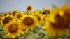 De ce floarea-soarelui se roteşte după Soare. EXPLICAŢIA neştiută până acum