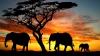 Date ÎNGRIJORĂTOARE! Elefanții, PE CALE DE DISPARIŢIE din savana africană