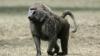 Babuin răzbunător! Ce le-a făcut animalul unor copii obraznici (VIDEO)