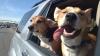 PUŞI PE ŞOTII! Doi câini au furat o maşină. Unde au ajuns patrupezii (VIDEO)