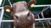 Bucurie mare pentru familia cu opt copii din Dâşcova: au primit în dar o vacă