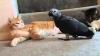 Rămâi perplex! Un papagal a băgat în sperieţi două pisici după ce a început a mieuna (VIDEO)