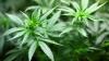 Operaţiunea MAC 2016: Marijuana şi canabis depistate la un bărbat din Capitală (VIDEO)