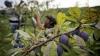Agricultorii care au avut de suferit în urma embargoului şi-au primit compensaţiile