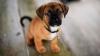 STUDIU: Câinii pot distinge cuvinte și intonații datorită acelorași regiuni cerebrale ca și oamenii
