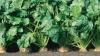 Seceta a afectat recolta de sfeclă de zahăr. Ce spun fermierii despre producţia din acest an