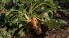 PROGNOZE privind recolta de sfeclă de zahăr. Ce spun specialiştii