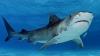 IMPRESIONANT! Un rechin a făcut un adevărat spectacol în apă (VIDEO)