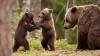 #LIKE PUBLIKA: Te topeşti! O ursoaică face plajă cu puii săi (VIDEO)