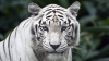 Un tigru siberian a atacat automobilul în care se afla un cuplu. Ce pradă a preferat animalul (VIDEO)