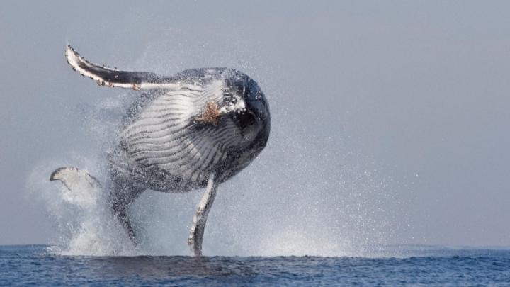 Turişti SPERIAŢI DE MOARTE! O balenă a trecut pe sub barca în care se aflau (VIDEO)