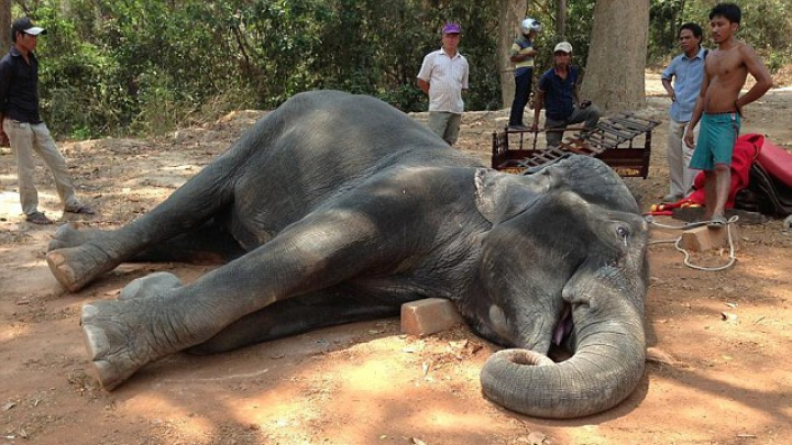 DRAMATIC! Un elefant a MURIT din cauza caniculei (VIDEO)