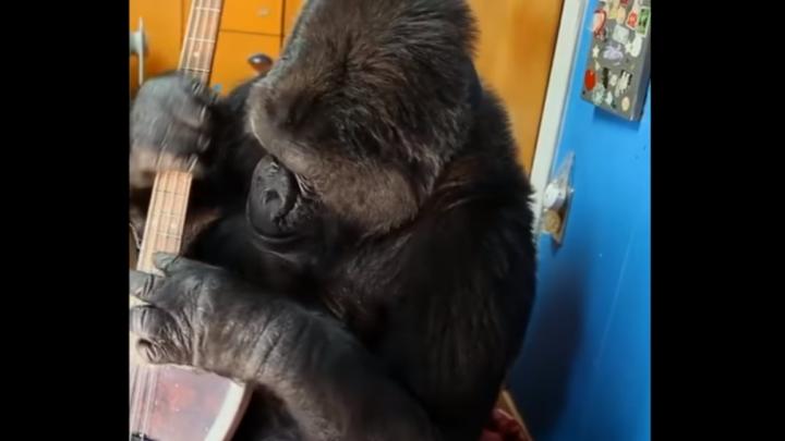 FANTASTIC! O gorilă a cântat la chitara unui rocker din trupa Red Hot Chili Peppers