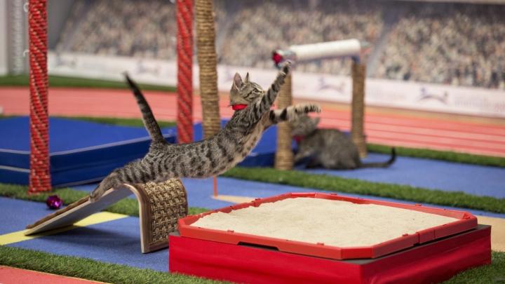 Olimpiada pisicilor: Acrobațiile făcute de micuțele feline, virale pe Internet (VIDEO)