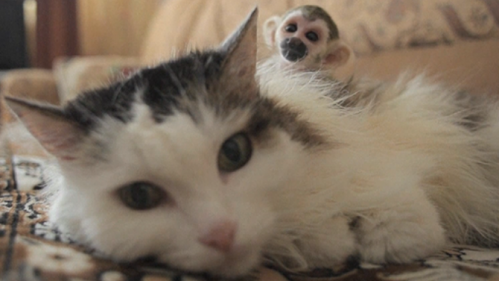 O pisică a adoptat un pui de maimuță după ce mama acestuia l-a abandonat (FOTO)