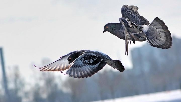 IMAGINILE ZILEI: O pereche de porumbei şi-a făcut cuib pe o maşină de poliţie