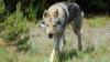 PERICOL în apropiere de Capitală! Lupii-hibrizi au băgat teama în locuitorii suburbiilor