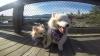 PRIETENI DE NEDESPĂRŢIT! Un câine a devenit ghid pentru amicul lui orb (VIDEO/FOTO)