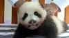 VIRAL PE INTERNET: Cum arată primul pui de urs panda gigant (VIDEO)