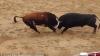 ŞOCANT! Doi tauri au murit pe loc după ce s-au lovit cap în cap în timpul unei lupte (VIDEO)
