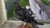 NO COMMENT: Porumbel, prins în timp ce încerca să introducă obiecte interzise în penitenciar (VIDEO)