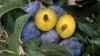 Avem recoltă bogată de prune dar comercializarea merge greu. Ce spun pomicultorii