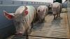 Pesta porcină, ținută sub control. Autoritățile asigură că NU există riscul răspândirii virusului