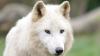 Noi membri la Grădina Zoologică din Capitală! Au fost aduşi din Cehia trei pui de lup Arctic