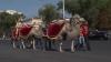 Cavalcadă pe străzile Capitalei! Artiştii circului au străbătut orașul călare pe cai şi cămile