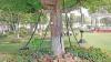 """Singurul copac """"arestat"""" din lume. Este legat cu lanțuri de 100 de ani. Motivul e incredibil"""