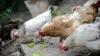 Un nou virus ameninţă păsările domestice din Moldova! Recomandările veterinarilor pentru gospodari