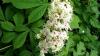 ANOMALIA provocată de vara caniculară! Castanii au înflorit în septembrie. AVERTISMENTUL specialiştilor