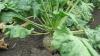 Producătorii de sfeclă de zahăr din nordul ţării au început recoltarea